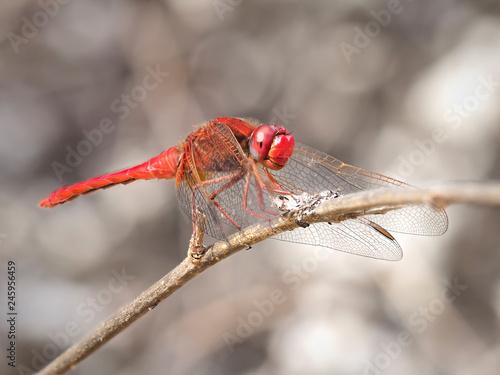 Broad Scarlet dragonfly (Crocothemis erythraea) perched on a branch of a bush, near Almansa, Spain - 245956459