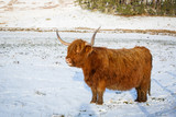 Scottish highland cow, close up head and shoulders, looking at the camera