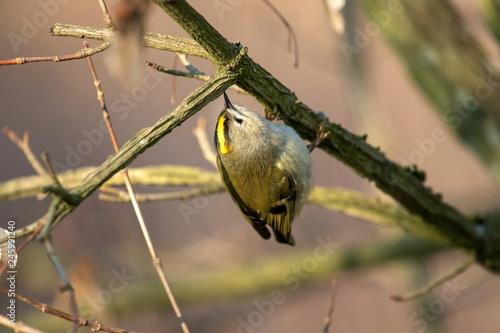Leinwanddruck Bild Wintergoldhähnchen an einem schönen Wintertag