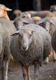 Sheep flock on ranch - 246002804