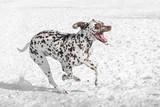 Close-up shot of beautiful Dalmatian dog in winter
