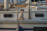 Cute dog on board luxury yacht deck Little dog on a sailing boat