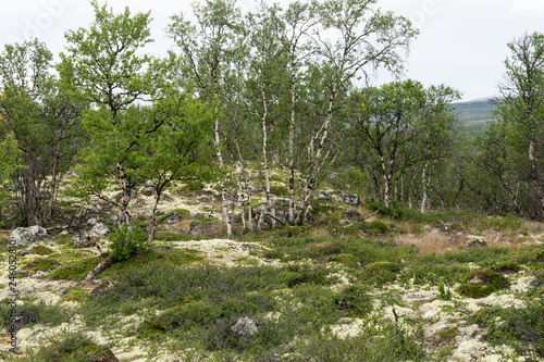 Fjellbirken und Felsen im Dovrefjell Nationalpark - 246052810