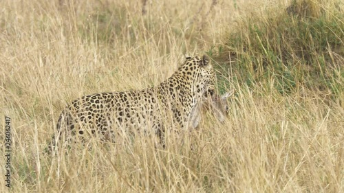 Pan right fallowing shot of a majestic leopard with its prey, dead lechwe baby for lunch