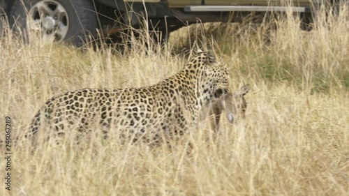 Tracking shot of a Leopard with its prey, dead baby lechwe in the predators mouth