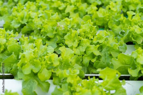 fototapeta na ścianę Green Oak hydroponics vegetable