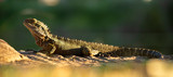 Fototapeta Zwierzęta - Water Dragon outside during the day in the late afternoon. © robdimagery