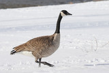 canadian goose in the snow - 246075631