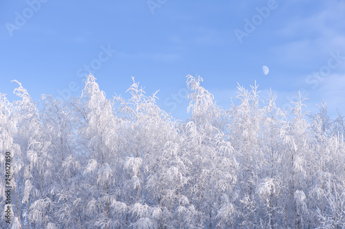 Moon over snow and frost covered birch trees on a cold winter day.