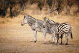 Drei Zebras im Grasland des Moremi Nationalparks, Okavango Delta, Botswana - 246137811
