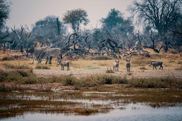 Zebras und Warzenschweine auf einer Insel im Überschwemmungsgebiet des Okavango, Moremi Nationalpark, Okavango Delta, Botswana