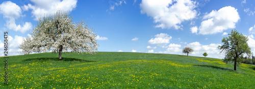 Panorama - Blühender Apfelbaum auf einer großen hügeligen Wiese mit gelbem Löwenzahn - 246158475