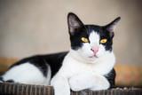 Fototapeta Koty - White and black cat with yellow eyes © nungning20