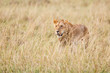 Young male lion hunting in the high dry grass on the savannah of the Masai Mara National Park in Kenya