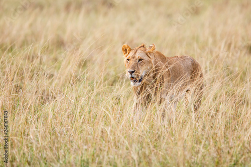 Young male lion hunting in the high dry grass on the savannah of the Masai Mara National Park in Kenya © henk