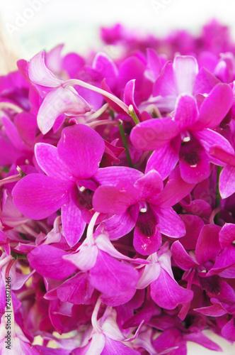 Dendrobium nobile orchid purple flowers - 246171246