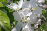 close up: delicate white flowers of an apple tree with stamens in spring in bright sunlight in the shade of green foliage foliage