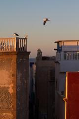 Möwe fliegt über Dächer von Essaouirra.