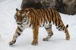 The Amur tiger