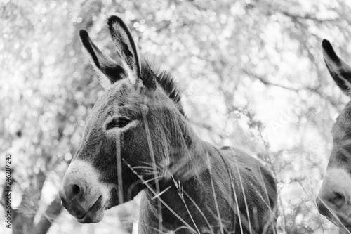 fototapeta na ścianę Black and white mini donkey on farm shows animal portrait of burro.