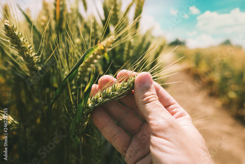 Leinwanddruck Bild Farmer is examining wheat crop development