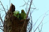 зеленый попугай живет в дупле на дереве