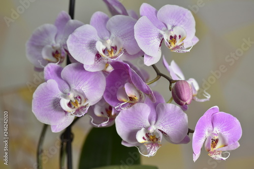Beautiful Orchid flowers bloom in the room - 246242020