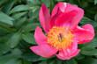 Beautiful pink rose - 246255487