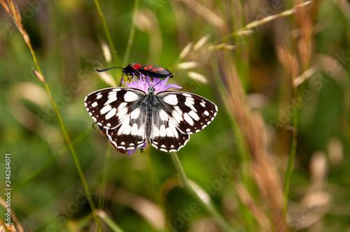 Schmetterling Schachbrett trinkt Nektar - 246264071