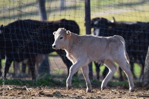toros y vacas
