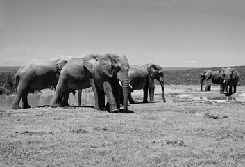 Herd of elephants at a watering hole. Amazing african wildlife. Elephant family in african expanses. Sweet memories of travel to Africa & South African safari. Postcard. Wild animals in National Parks