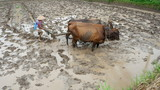 the activities of people are plowing in the fields with cows as a driver