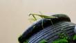 the praying grasshopper on a mossy black stone