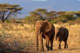 Elefanten in freier Wildbahn in Afrika - 246332238