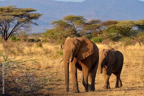 Leinwandbild Motiv Elefanten in freier Wildbahn in Afrika
