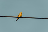 Sparrow perched on an electric cable - 246348897