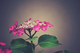 delicate summer pink hydrangea with green leaves on a pastel background