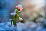Ringelblume mit Schneehaube - 246369232