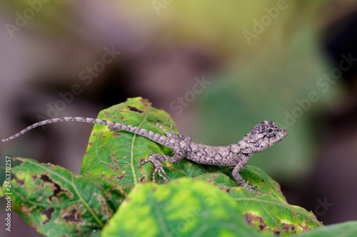 Image of chameleon on a green leaf . Reptile
