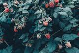 Fresh raspberries grow on green tree in garden