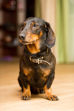 The Dachshund dog sits on the floor and looks away