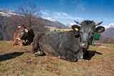 Some cows and calves grazing on a mountain farm.