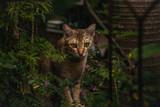 red cat hunts in the garden. Vietnamese Bobtail