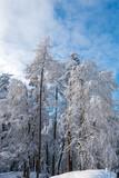 Fototapeta Las - Winter im alten Wald-schneebedeckte hohe Bäume vor einem wunderschönen Himmel © Sonja Birkelbach