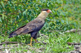 Southern caracara hunting on the grass - 246447086
