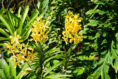 Orchids growing in Singapore