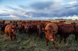 Herd of Cows on a farm field during a stormy sunset. Taken in Brandon, Manitoba, Canada.