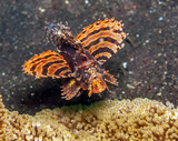 Lionfish underwater in Indonesia - 246469212