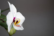 Beautiful gentle flowers of Phalaenopsis orchids on a gray background.