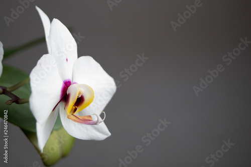 Beautiful gentle flowers of Phalaenopsis orchids on a gray background. - 246470842